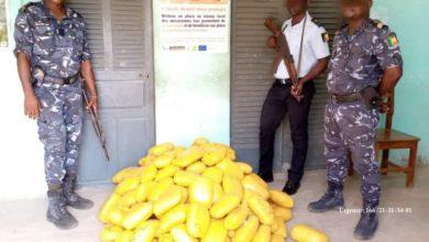 Bénin : 99 kg de chanvre indien saisis à Agoué par la Police